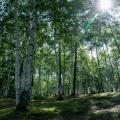 札幌工科専門学校 森の仕事体験講座 シラカバを1本 森から伐りだしてみる