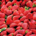 織田栄養専門学校 ビタミンCたっぷりのイチゴの調理